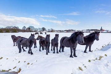 Kudde zwarte friese paarden in winterse sneeuw van Ben Schonewille