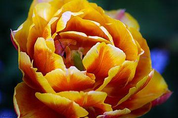 Tulpe von Roswitha Lorz