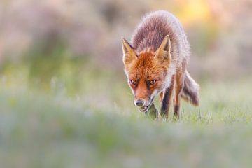 Le renard à la chasse sur