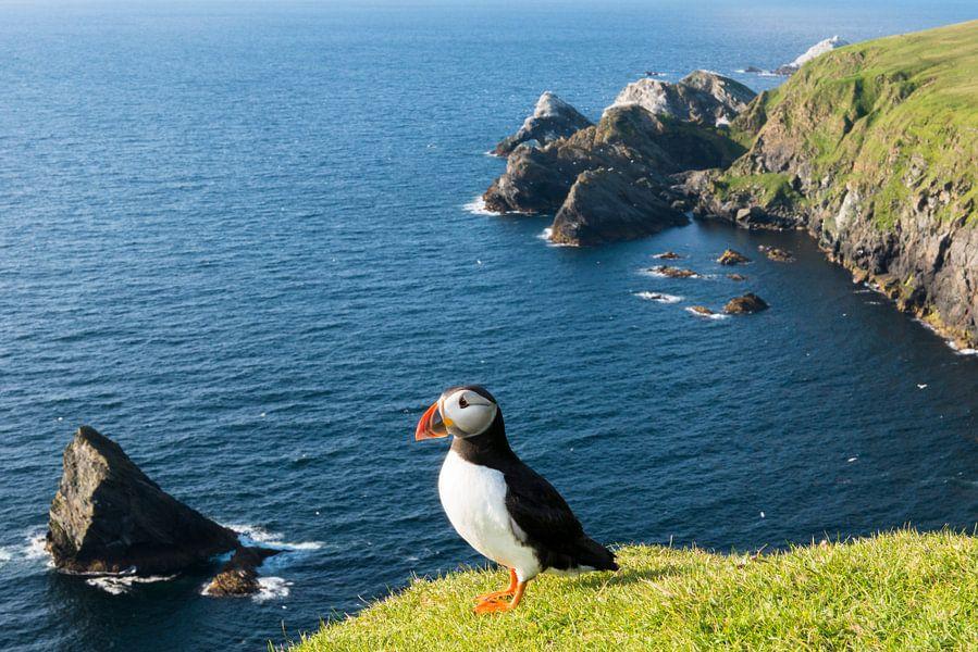 Papegaaiduiker boven op een klif aan de Schotse kust