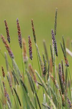 Bloeiende grassen in de lente