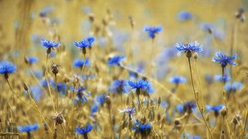 Cornflowers sur Martin Podt