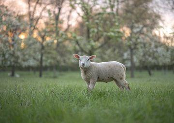 joli agneau près des arbres fruitiers sur Tania Perneel