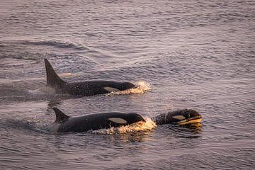 Orcas Antarktis von Eefke Smets
