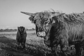Schotse hooglander van Sarina Dekker