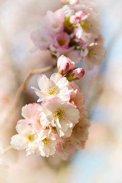 Japanische Kirschblüte von Claudia Moeckel