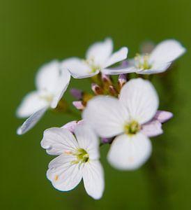White flower van Alexander van der Sar