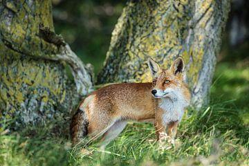 Roter Fuchs von Inge van den Brande