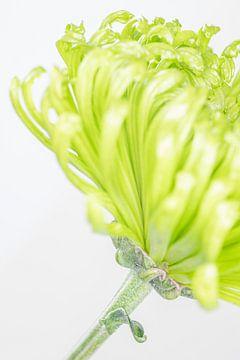 """""""High Key"""" Blume farbe 2 von Albert Mendelewski"""