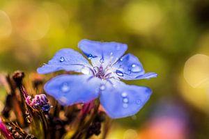 Blauw bloemetje met dauw