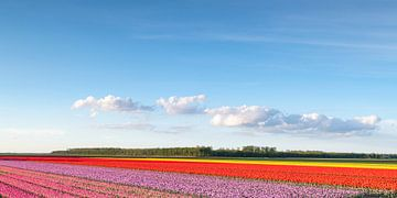 Felder von blühenden rosa, roten und gelben Tulpen während des Sonnenuntergangs in Holland von Sjoerd van der Wal