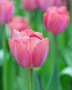 Tulpe von Johanna Blankenstein