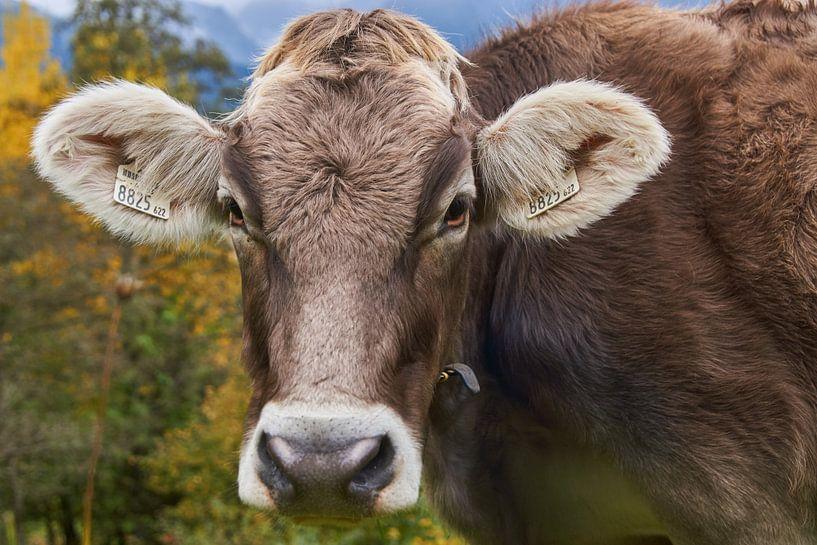 koe in berglandschap van Ferry Kalthof