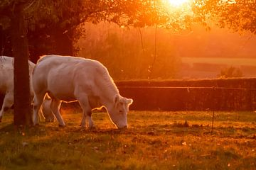 Weiße Kühe bei Sonnenuntergang von Hans van der Steen