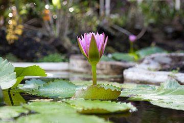 Lotusblüte von t.ART