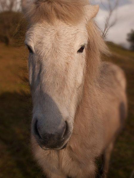 IJslands paard von Rinke Velds