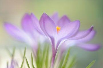 Crocus violets sur Gonnie van de Schans