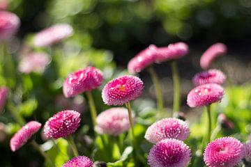 Glitzerndes Gänseblümchen