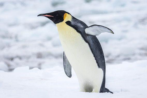 Keizerspinguin - Antarctica van Eefke Smets