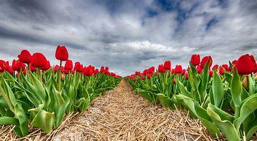 Rote Tulpen 2020 D von Alex Hiemstra