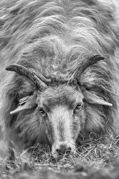 Portrait eines Heidschnuckenschafs