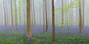 Bluebell bos