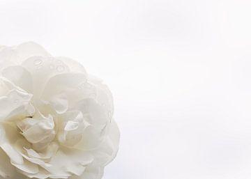 witte roos sur Freya Clauwaert