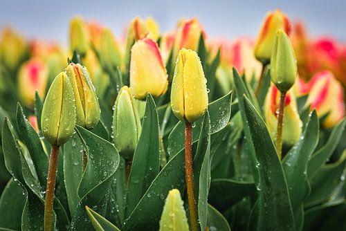 Close-up van tulpen in de regen