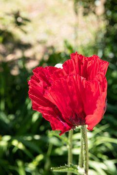 Rode papaverbloesem in de tuin van Alexander Wolff