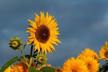Sonnenblumen von Stefan Heesch