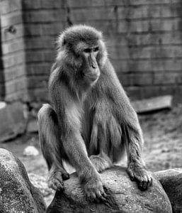 Japanse Makaak von Capture Fotografie