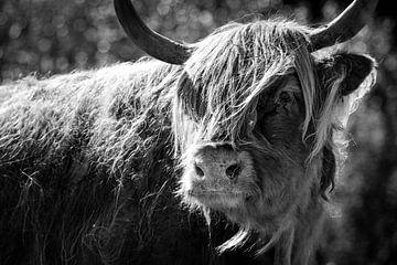 Schottischer highlander in Schwarz-Weiß von Kris Christiaens