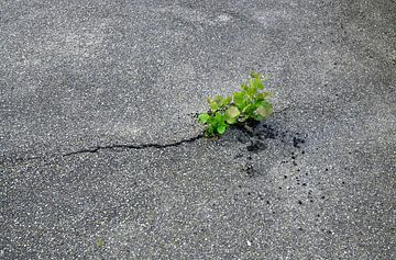 Pflanze im Asphalt von BVpix
