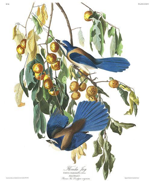 Struikgaai van Birds of America