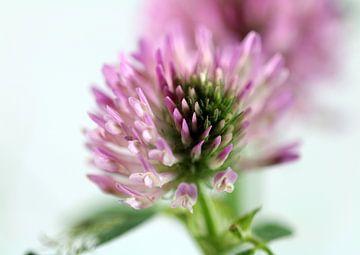 Kleeblüte sur