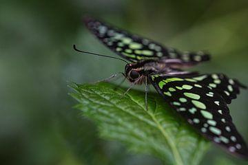 Vlinder groen van Eerensfotografie Renate Eerens