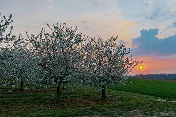 Magnifique coucher de soleil aux couleurs chaudes entre les arbres fruitiers en fleurs à Maastricht.