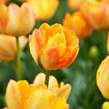 Dubbele tulp ('Granny Award') van Peet Romijn