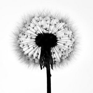 Dandelion van