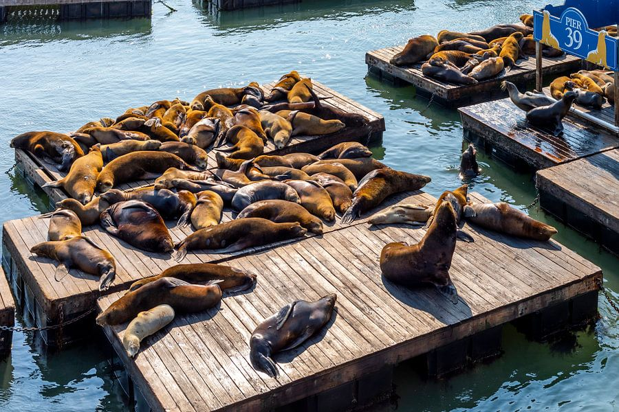 Californische zeehonden in San Francisco van Remco Bosshard
