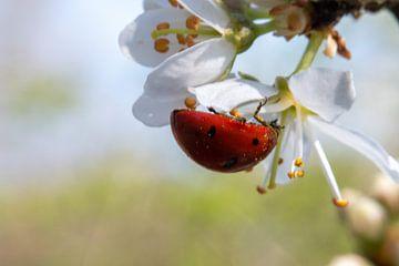 Coccinelle sous le pollen d'une fleur sur Jacqueline De Rooij Fotografie