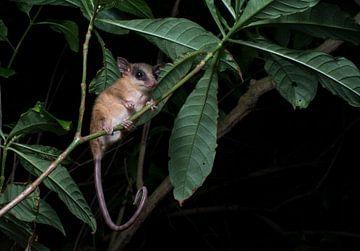 Nachtaufnahmen eines mexikanischen Zwergopossums in Honduras von Thijs van den Burg