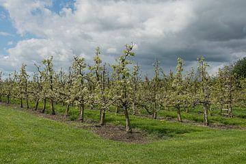 Kersen boomgaard / Cherry orchard von Elles Rijsdijk