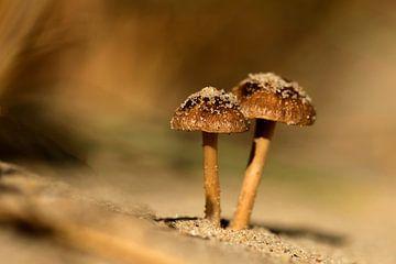 Tweeling paddenstoel Duinfranjehoedjes van Henriëtte van Golde