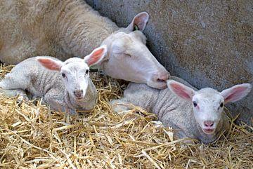 Moederschaap met haar lammetjes van Judith Cool