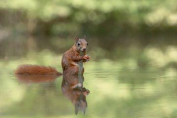 reflectie van een eekhoorn van Albert Beukhof