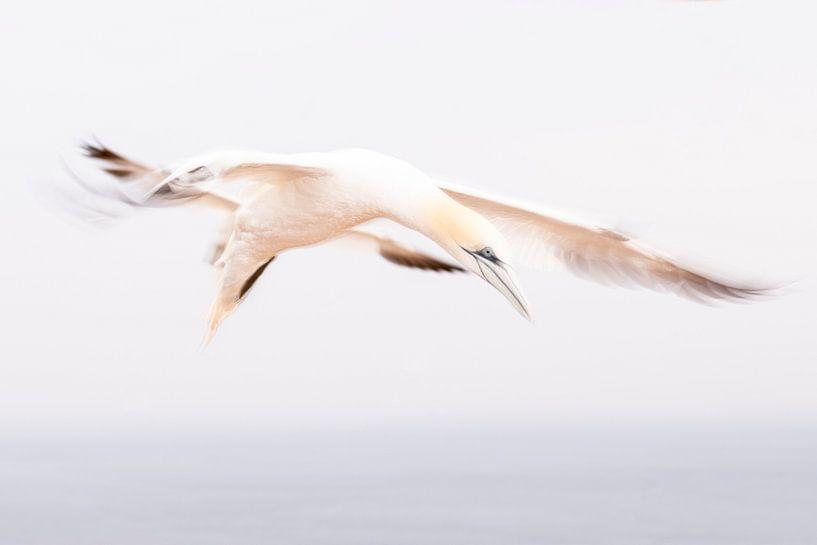 Ein abstrakter Eindruck von einem Gannet im Flug 6 von Danny Budts