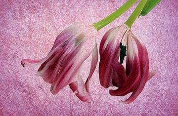 Tulpen kopfüber von Roswitha Lorz