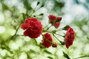 Rode rozen van Cor de Hamer