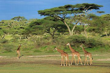 Giraffen unter der Akazie von Anja Brouwer Fotografie